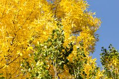 Yellow leaves on the tree against the blue sky.  Royalty Free Stock Image