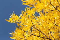 Yellow leaves on the tree against the blue sky.  Stock Photography