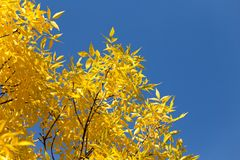 Yellow leaves on the tree against the blue sky.  Royalty Free Stock Images