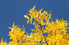 Yellow leaves on the tree against the blue sky.  Stock Images