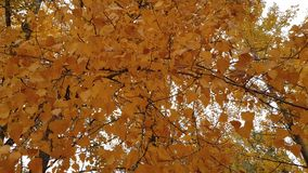 Yellow leaves on a tree stock video footage
