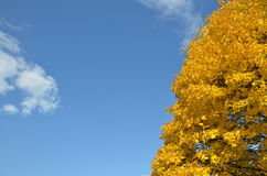 Yellow leaves tree in autumn. With blue sky in background Stock Photography