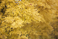 Yellow leaves on a tree Stock Photography