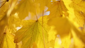 Yellow leaves on tree branch stock footage