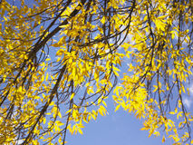 Yellow Leaves on Tree Branches Royalty Free Stock Photos