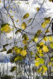 Yellow leaves and tree branches in backlit light. Yellow leaves on tree branches in the sunshine royalty free stock photos