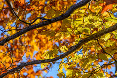 Yellow leaves with tree branches over blue sky. Background with Stock Photos