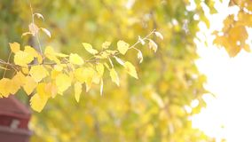 Yellow leaves on the tree. Close up. Tree with beautiful yellow leaves, tree or shrub with thin twigs, growing on the tree leaves swaying in a gentle wind, close stock video footage