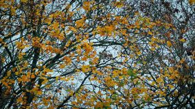 Yellow Leaves On Tree In The Fall stock footage