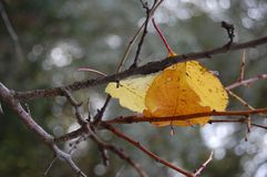 Yellow leaves on the tree in fall royalty free stock photo