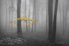 Yellow leaves tree in foggy forest Stock Images