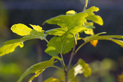Yellow Leaves. Tree limb against sky Royalty Free Stock Photo