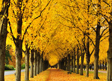 Yellow leaves Tree Lined Road stock photo