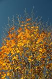 Cyclic seasons. Yellow leaves on a tree seen towards a blue sky, yet the buds for next year are already visible Royalty Free Stock Photo