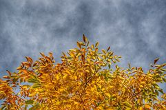 Yellow leaves on the tree viewed from below. Against cloudy sky Royalty Free Stock Photo