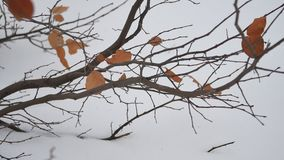 Yellow leaves on a tree winter branch on snow landscape. Yellow leaves on tree winter branch on snow landscape stock footage