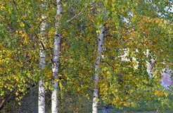 Yellow leaves on trees in a city park royalty free stock photos