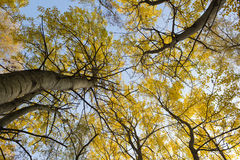 Yellow leaves on trees in forest, autumn  landscape Stock Images