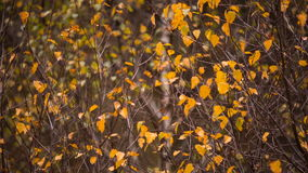 Yellow leaves on the trees golden autumn in the mountains of the Caucasus. Russia, Kabardino-Balkaria late autumn. Yellow leaves on the trees golden autumn in stock video
