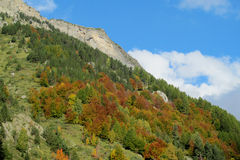 Yellow leaves on the trees in the mountains Stock Image