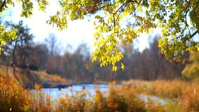 Yellow leaves on trees in park stock footage