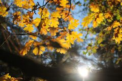 Yellow Leaves Under Blue Sky Royalty Free Stock Images