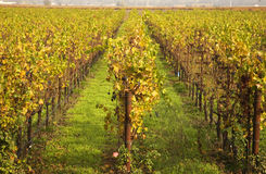 Yellow Leaves Vines Rows Fall Vineyards Napa Royalty Free Stock Photos