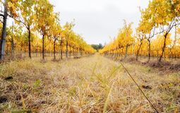 Yellow leaves of vineyard2 Stock Photos