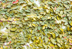 Yellow leaves on wall texture background Stock Photo