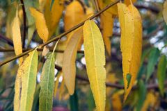 Yellow leaves of the weeping willow in the autumn day royalty free stock image