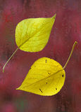 Yellow leaves on the wet glass Royalty Free Stock Images