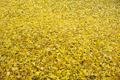 Yellow Leaves Stock Photos