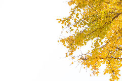 Yellow leaves. On white background Royalty Free Stock Photography
