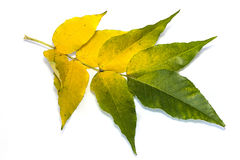 Yellow leaves on white. Yellow leaves isolated on white background Royalty Free Stock Photos