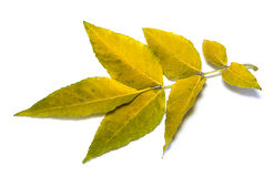Yellow leaves on white. Yellow leaves isolated on white background Royalty Free Stock Images