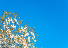 Yellow leaves with white seed tufts. Yellow leaves with white seed tufts on the Yak with blue sky background Royalty Free Stock Photo