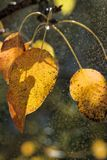 Yellow Leaves of Wild Pear Royalty Free Stock Photo