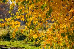 Yellow leaves of young birch in autumn in October stock photo