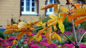 The yellow leaves of the young chestnut trees sway in the wind in autumn garden. Closeup stock video