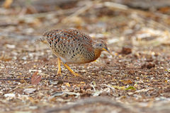 Yellow-legged Buttonquail Turnix tanki Male Cute Birds of Thailand Royalty Free Stock Image