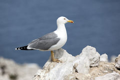Yellow legged gull Stock Image