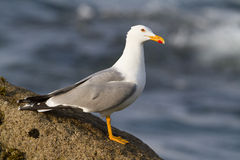 Yellow-legged Gull. On rock in the Galician Atlantic Stock Images
