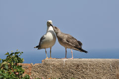 Yellow-legged Gull - Adult and Juvenile Royalty Free Stock Image