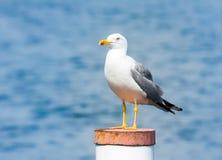Yellow-legged gull Stock Photography