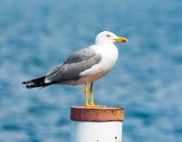 Yellow-legged gull Royalty Free Stock Photography