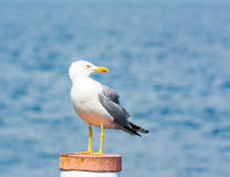 Yellow-legged gull Royalty Free Stock Photography