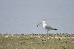 Yellow-legged gull Royalty Free Stock Photo