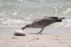 Yellow-legged Gull eating dead fish. Yellow-legged Gull eating dead fish on the beach Royalty Free Stock Photo