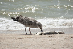 Yellow-legged Gull eating a fish. Yellow-legged Gull eating a fish on the beach Stock Photo