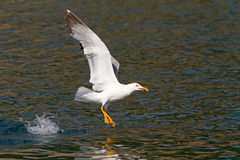 Yellow-legged Gull Feeding Stock Photos